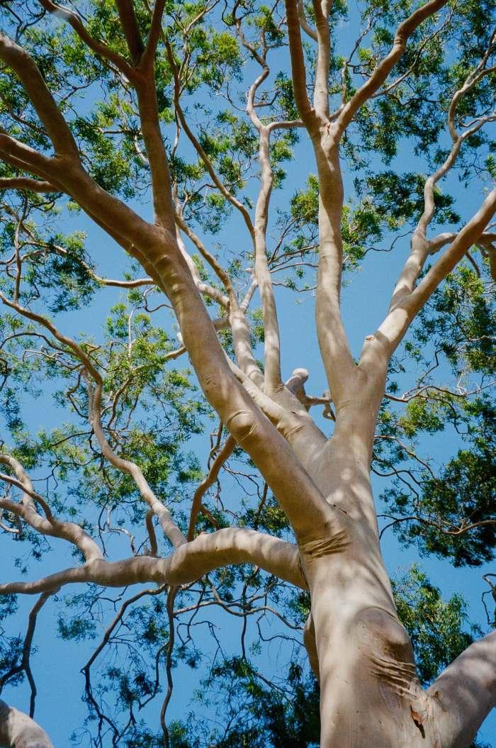gum tree1